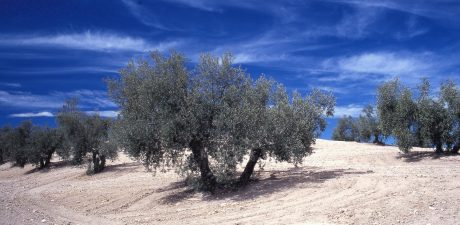 Challenges for Europe's olive oil producers continue to stack up